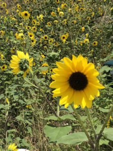 Texas Sunflowers2